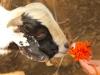 Pompon et la chèvre 1