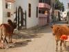Pompon et les vaches